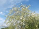 robinia fiorita