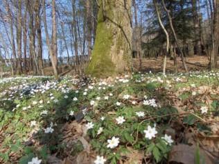 bosco di marzo