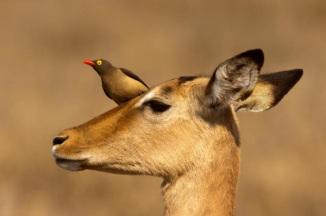 bufaga su antilope