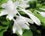 hosta plantaginea aphrodite fiore